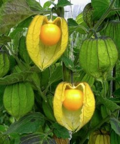 Golden Berries(Physalis)